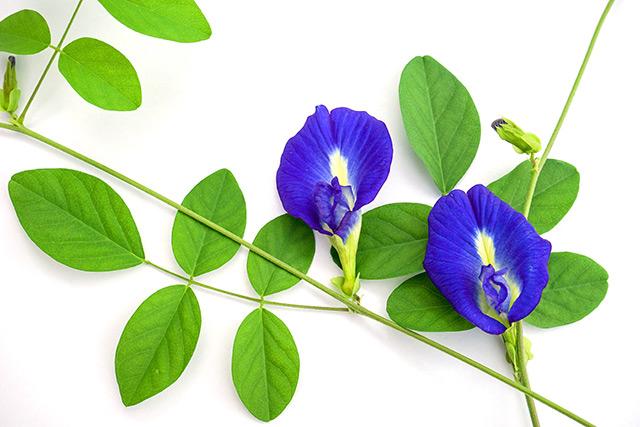Bật mí các cách làm đẹp bằng hoa đậu biếc hiệu quả